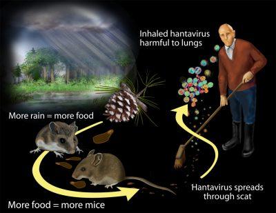 how hantavirus is transmitted
